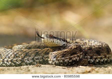 Beautiful Venomous European Snake
