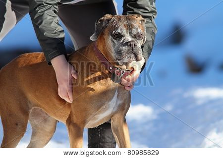 Boxer On Owner Hands