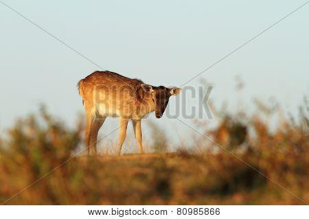 Fallow Deer Calf On A Meadow