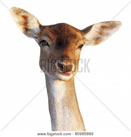 Fallow Deer Doe Funny Face