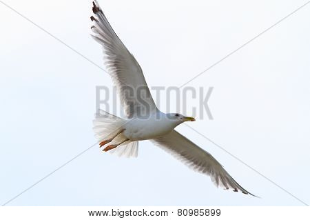 Herring Gull With Wings Spread