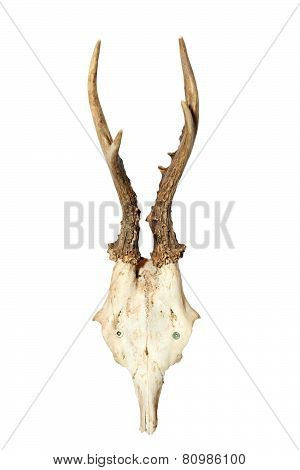 Roebuck Hunting Trophy