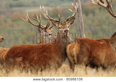 Red Deers Herd