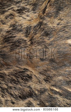 Sus Scrofa Hunting Trophy Fur