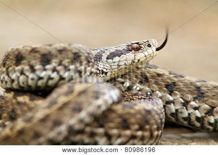 Ursinii Viper Closeup