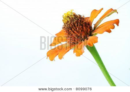 Orange Zinnia On White