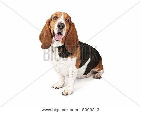 Basset Hound Dog Looking To The Side