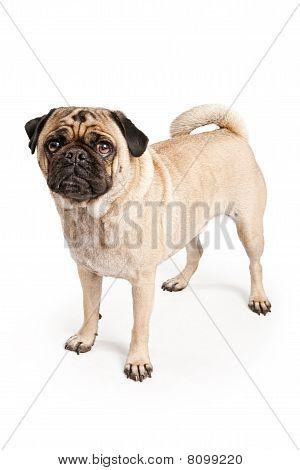 Pug Dog Isolated On White