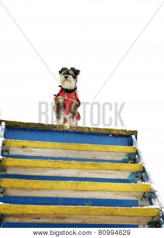 Miniature Black And Silver Schnauzer Standing On The Edge Of The Stairs