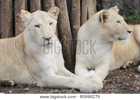 Two White Lions Showing The Love
