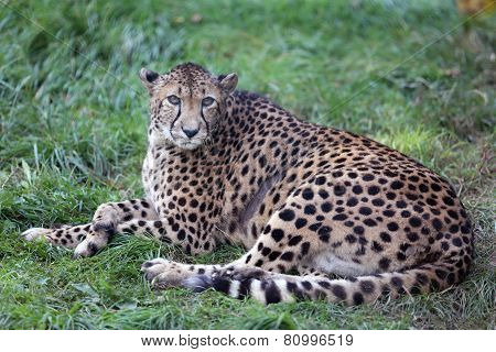 Cheetah Gepard On Green Grass