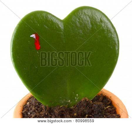 Heart Shaped Cactus While Bleeds