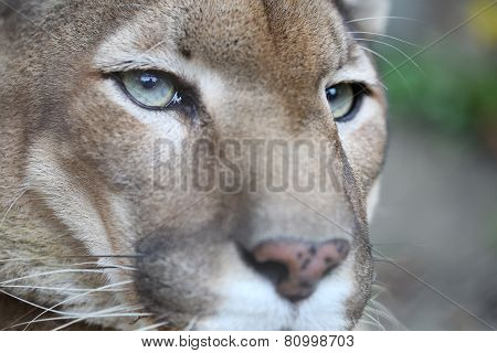 Puma With Green Eye Posing While Resting