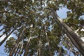 foto of eucalyptus trees  -  Eucalyptus trees in New South Wales Australia - JPG