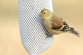 pic of goldfinches  - American Goldfinch  - JPG