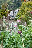 foto of opiate  - Pink Opium poppy field - JPG