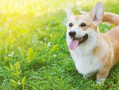foto of happy day  - Happy dog Welsh Corgi Pembroke in summer day - JPG