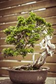 picture of bonsai  - close up of an old bonsai tree in a flower pot - JPG
