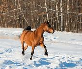 picture of bay horse  - Young bay horse in a winter forest - JPG