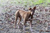 foto of stray dog  - Thai Stray Dog , animal and pet