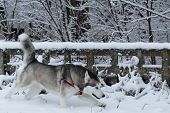 foto of husky sled dog breeds  - Siberian Husky winter - JPG