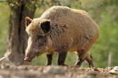 foto of boar  - big wild boar sow  - JPG