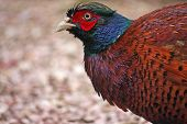 foto of game-cock  - close up view of a cock pheasant