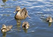stock photo of baby duck  - Mother duck with her three baby ducklings - JPG