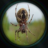 stock photo of plunder  - Garden spider on web in objective lens - JPG