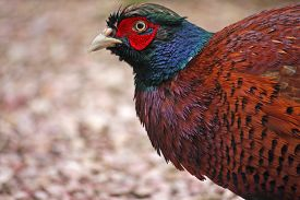 picture of game-cock  - close up view of a cock pheasant  - JPG
