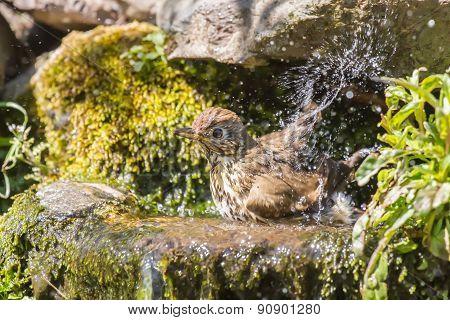 Mistle thrush splashing