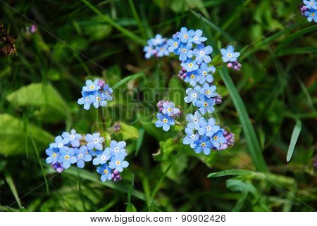 Beautiful Flowers Forget- Me-not Close Up
