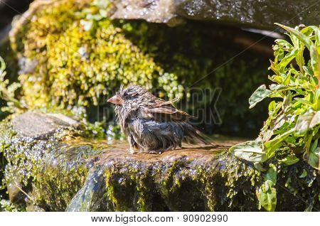 Drying house sparrow