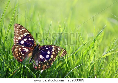 Japenese Emperor Butterfly In Green Grass Background