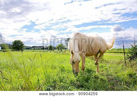 Palomino Horse In Farm Pasture