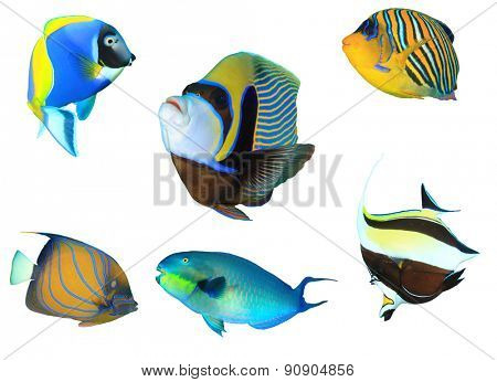Tropical fish isolated on white: Powderblue Surgeonfish, Emperor Angelfish, Regal Angelfish, Blue-ringed Angelfish, Largenose Parrotfish and Moorish Idol