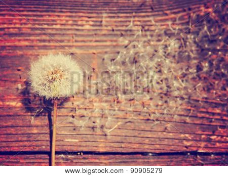 several dandelion weeds on an aged wooden background toned with a retro vintage instagram filter effect app or action