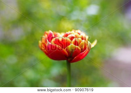 Beautiful bright tulip close up