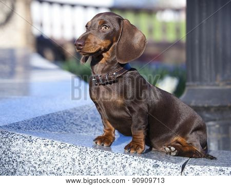 dachshund puppy chocolate color
