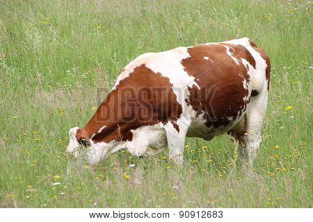 Cow On A Spring Pasture