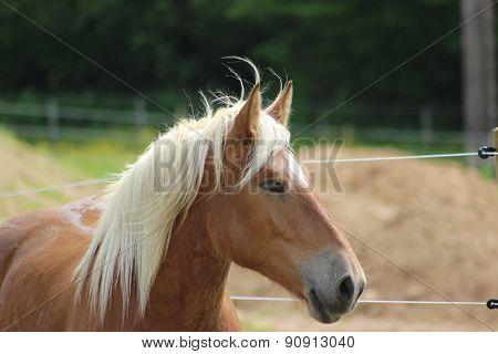 Beautiful Haflinger Horse