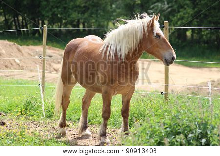 Haflinger Horse In A Meadow