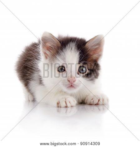 The Scared Spotty Domestic Kitten.