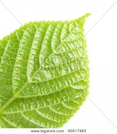 Beautiful green leaf with water drops isolated on white
