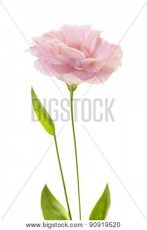 Romantic pink rose with fresh green leaves isolated on white