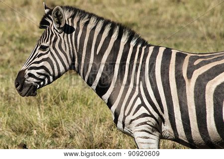 Plains Zebra (equus Quagga) In South Africa