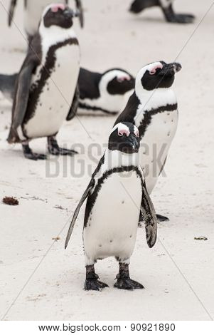 South African penguins on a beach