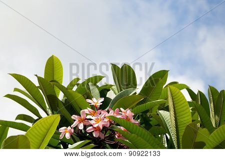 Frangipani bush, tropical pink flower