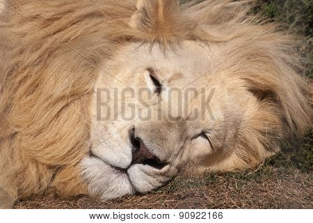 A White Lion Sleeping, South Africa