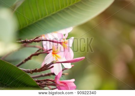 Flower background, tropical pink frangipani